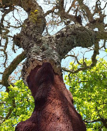 Un'alta quercia da sughero intagliata