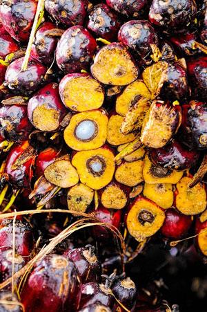 Frutto rosso della palma da olio