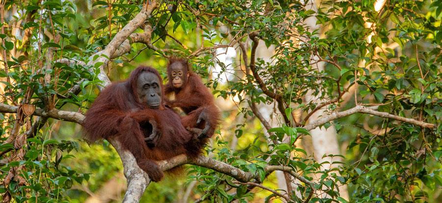 Orango femmina su albero con figlio