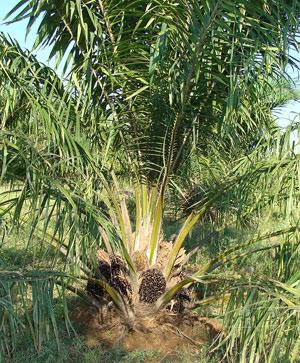Pianta di palma da olio
