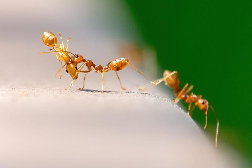 Come liberarsi dalle formiche senza ucciderle