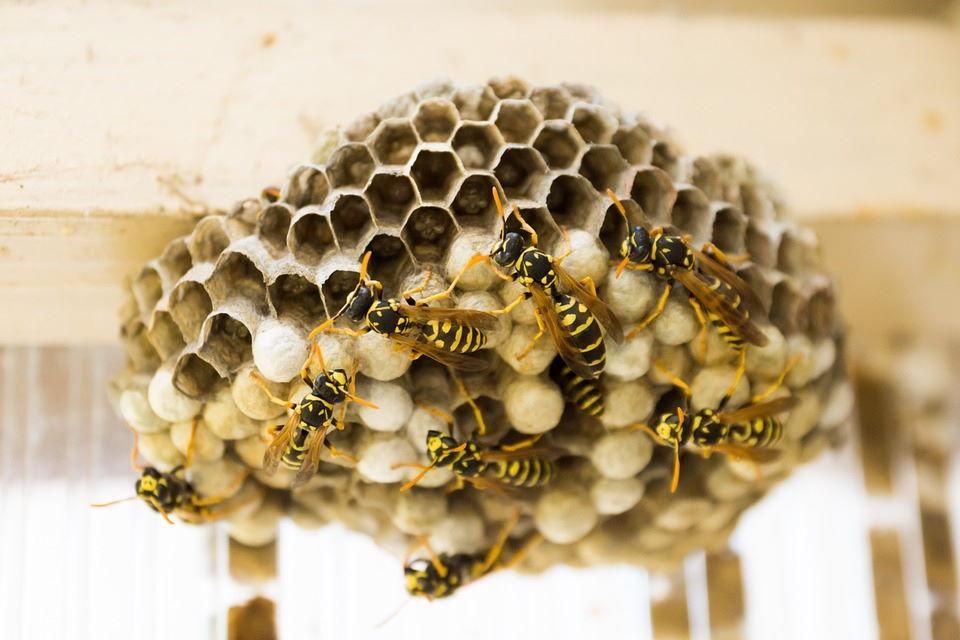 Come liberarsi dalle vespe senza ucciderle